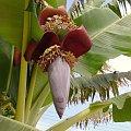 Cypr,kwiat bananowca #banan #drzewo #owoc