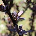 #Bralin #wiosna #krzew #krople #owoce