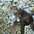 Oscar #kot #koty #czereśnia