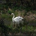 #zielone #wiosna #łabędź #łabędzie #rzeka #rzeką #łąka #łabądź