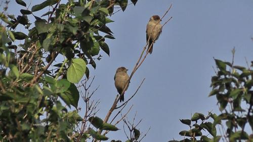 Obserwacja #ptak #wróbel