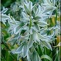 gwiazdki #ogród #kwiaty #gwiazdki #makro