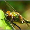 to są dopiero wielkie oczy #ważka #makro #owad #oczy