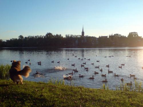 Baba na kaczki #kaczki #ptaki #pies #jezioro #woda #wieża #słońce