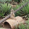 Dlugosc ciala surykatki to zwykle 25-35 cm #Teneryfa #zwierzątka #surykatka #JunglePark #roślinki #egzotyczne