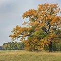 stary dąb #jesień #dąb #drzewo