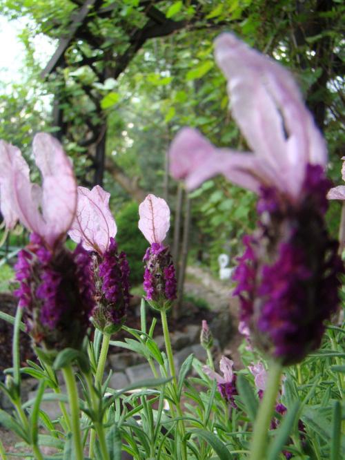 Lawenda..... #kwiaty