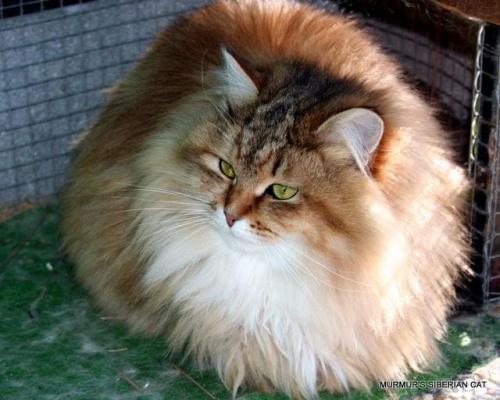 Regina Marcowe Migdały*PL - kotka syberyjska 1,5 roku