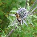 Mikołajek płaskolistny #mikołajek #płaskolistny #allegro #aukcja #pszczoła #kwiat