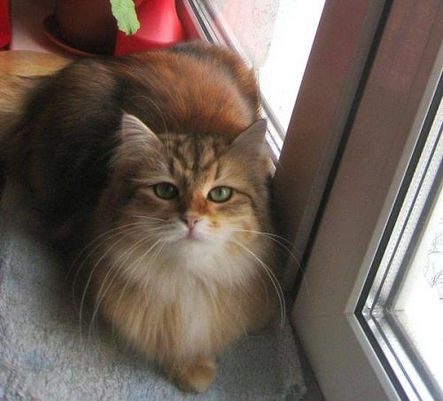 IC Solna Marcowe Migdały*PL - kotka syberyjska 10 miesięcy