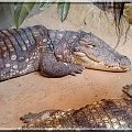 krokodyle... grrr.. nie mogłem się na nie napatrzeć #gad #krokodyl #zoo #Wrocław