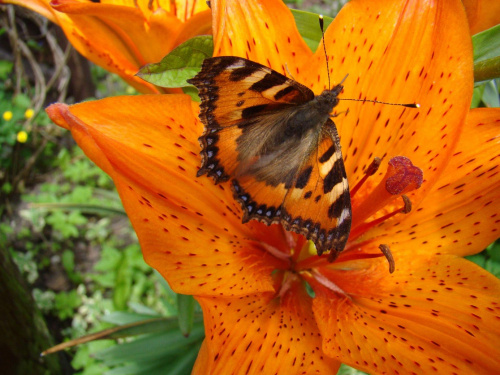Pierwszy motyl. #kwiaty
