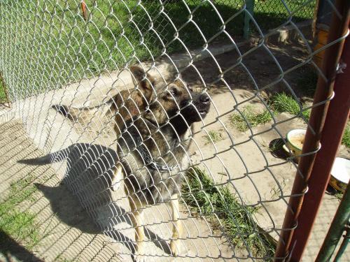 Melcia #melka #melcia #pies #dog #piesek #owczarek #niemiecki #OwczarekIemecki #rok #suka #suczka #doggie #psiur #wilk #BarwaWilczasta