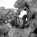 #drewno #kapustki #KwiatyKwiatki #roze #roże #róze #róże