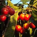 czereśnie w popołudniowym słońcu:) #owoc #słońce #natura #ogród