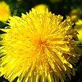 #kwiat #łąka #żółty #przyroda