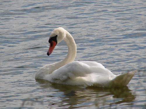 #Ptaki #łabędź #jezioro #warmia
