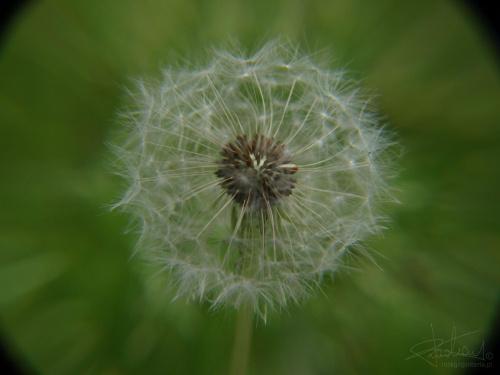 mniszek w pyleniu, 06.2009 [Olympus E-410, Zuiko Digital 14-42 + soczewki makro +8Dioptrii i +10Dioptrii] #mniszek #dmuchawiec #pyłek #kwiat #makro