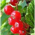 #działka #lato #ogród #owoce