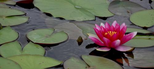 #lilia #staw #OczkoWodne #roślina