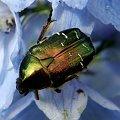 trochę owadziej biżuterii.. ;D #owad #makro #chrząszcz