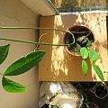 To co wyrosło z dużego ciemnobrązowego nasionka z Indii CO TO ZA ROŚLINA? Już wiem to entada rheedii. #idia #indie #pnącze #nasionko #roślina #egzotyka #entada #rheedii