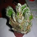 Opuntia #opuntia #opuncja #kaktus #sukulent