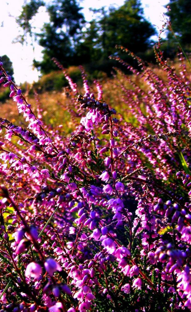 #wrzos #laka #kwiaty