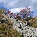 Jarzębina #Góry #Bieszczady #Rozsypaniec #Halicz #Tarnica