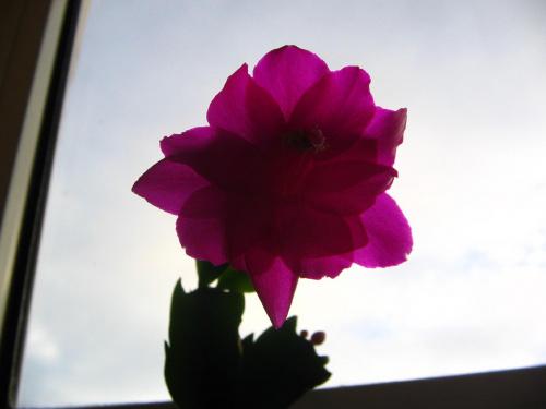 Kwitnący grudnik #kwitnący #grudnik #schlumbergera #zygokaktus
