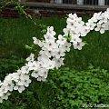 Piękne, pachnące kwiaty Mirabelki Racibórz, Wiosna 2010 #Wiosna #mirableka #kwiaty #kwiatki #piękne #Racibórz #Śląsk #zieleń #przyroda #spacer #kiwtnienie #rośliny #magnolia