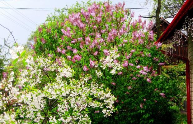 lilak w cieniu wiśni