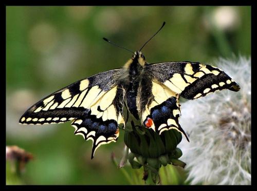 ślę Wam pozdrowienia na motyla skrzydłach:)