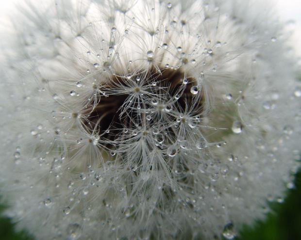 #wiosna #dmuchawce #kwiaty