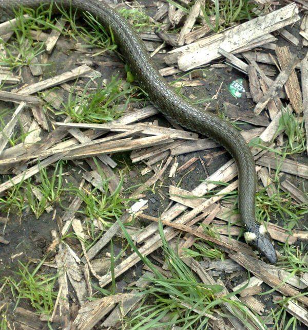 zaskroniec #przyroda #wąż #zaskroniec