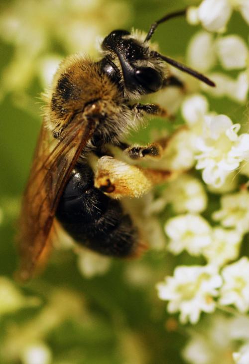 Pszczoła miodna,pszczoła, robotnica, pyłek, kwiatki, makro, blisko, przybliżenie, macro