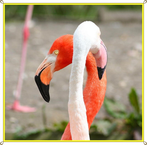 Cubanos Flamingi ! #flamingi #ptaki #zwierzeta