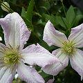 #powojniki #clematisy #kwiaty #pnącza