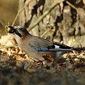 #ptaki #sójka #przyroda