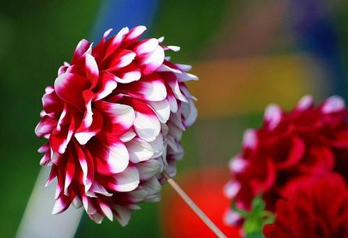 Ostatki z rabatki #kwiatek #ogrodek