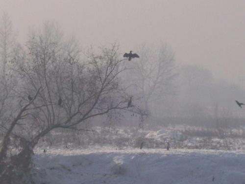 Kormorany zimą #Kraków #kormorany #wisła #zima #ptaki
