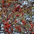 #jarzębina #jesień #drzewo