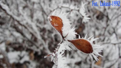 Szron na listkach #mróz #szadź #szron #park #zima #śnieg