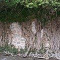Tak wygląda jedno z pnącz zamkowych :)Dla stelki56 :) #ZamekChojnik #ruiny #pnącze #roślina #przyroda