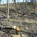 Besko 2011 - stanowisko bobrów. Nie podaję dokładnej lokalizacji ze względu na ekoterrorystów, którzy mogliby się poprzywiązywać do drzew i zaniepokoić zwierzęta. #Besko #BeskidNiski #bobry #bóbr #tama