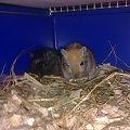 Budujemy sobie gniazdko. #gryzonie #myszoskoczek #skoczek #skoki