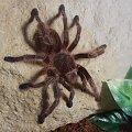#pająk #ptasznik #ptaszniki #rosea #terrarium