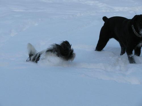snieżne psy,Shih Tzu i Wyżeł #psy #zwierzęta #szczeniaczki #ShihTzu