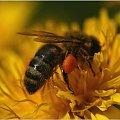 Pszczoły - gatunek ginący #Pszczoła #makro #PyłekKwiatowy