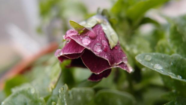 #kwiat #makro #macro #rosa #woda #bratek
